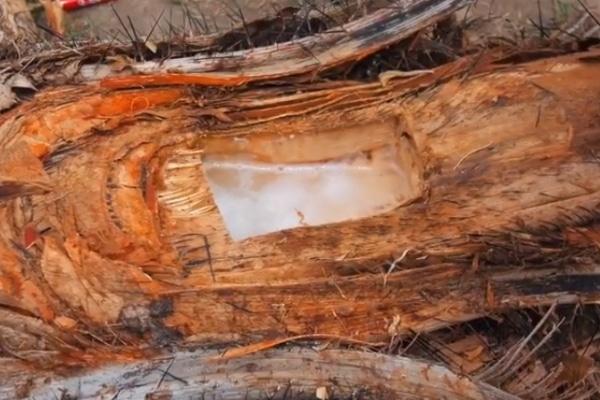 Sacando el vino de coyol del tronco